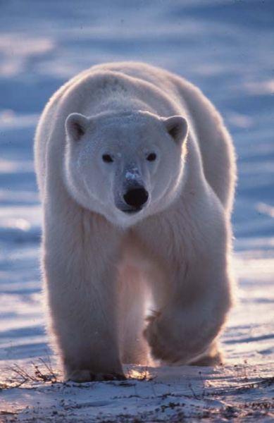 Discussion entre amis : Pourquoi l'Arctique ne doit plus s'appeler l'Arctique ? dans Les questions qu'on se pose ourspolaire